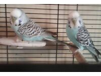 Budgies with cage and extras