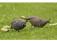 For sale Californian quails.One year old.Sale in the pair.For pair £25.