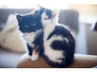 beautiful fluffy kittens for sale