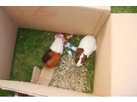Free female guinea pig for a good home