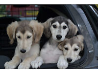 3/4 saluki 1/4 greyhound pups