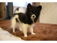 Pomeranian Puppy Girl, 5 months