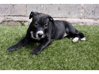 **READY NOW** **Only 1 left** A beautiful female American bully cross pup for sale £300