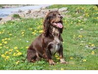 Kc registered Cocker spaniel dog pup