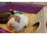 White Male Guinea Pig for Sale