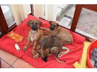 Only 2 females left- Rhodhesian Ridgeback pups-ready now