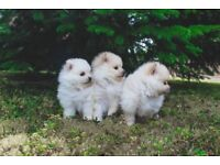 Beautiful XS Pomeranian Puppies KC registered.