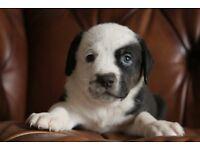 Rottweiler cross bulldog puppies