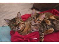 Bengal Kittens ready now.... We have 2 adorable dark spotted boys