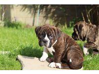 Dorset olde tyme bulldogge puppies