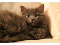 Maine Coon and Russian Blue