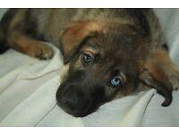 German Shepard X Husky Puppies (READ DESCRIPTION)