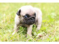 Beautiful Merle pugs npt1507