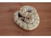 young banana royal ball python