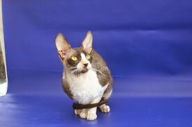 Cornish rex, male