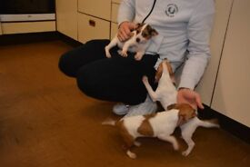 3 Lovely Small Jack Russell Puppies For Sale
