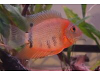 Tropical fish (NOT FREE! See ad for details)