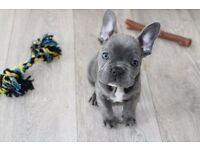 (READY NOW) KC FRENCH BULLDOGS