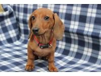 Miniature Dachshund puppy male
