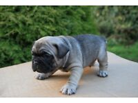 Beautiful french bulldog pups KC registered
