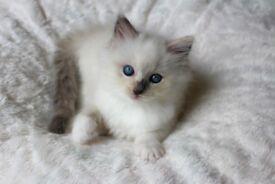 Beautiful pedigree Ragdoll kittens!