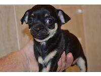 KC Chihauhua Puppies Tri colour