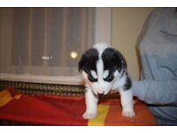 Pedigree husky puppies ONLY 2 REMAINING
