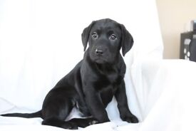 Super Black Labrador Pups, Ready Now PRA and CNM clear