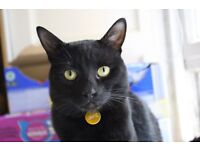 Missing Cat - Black Domestic-shorthair