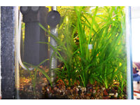 Fish tank - Plants for sale - Vallisneria spiralis (Straight Vallis)