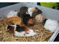 Beautiful Abyssinian Guinea Pigs for Sale