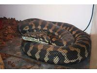 Carpet Python (Morelia spilota) 9ft Female Snake with Vivarium & Food