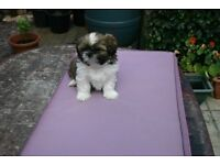 kennel club registered shih tzu puppies
