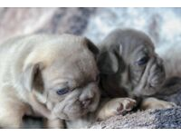 French Bulldog Quality Blue And Tan Boys