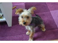 Lovely 4 months old yorkshire terrier puppy