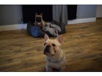 French Bulldog Male Cream - 10 mths old - KC reg - Excellent Pedigree - Rehoming due to Work