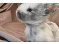 7 baby bunnies for sale. *four left * **RESERVE NOW FREE/26th June***
