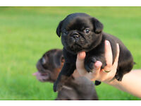 black tan carriers pug puppies for sale
