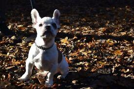 French Bulldog Boy