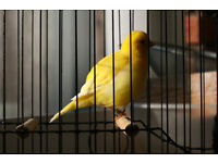 Fife Canaries.Breeding Cages. Cage Fronts. Fife Show Cages, for Training. Automatic Light Dimmer.
