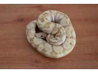 banana royal ball python