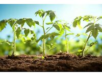 3x Tomato Plants Easy Growing Low Maintenance (Pick up Only)