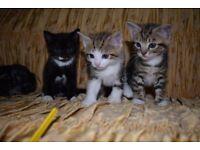 3 ADORRABLE TABBY KITTENS