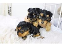 Beautiful Male & Female Yorkshire Terrier Puppies for sale