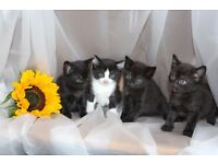 Beautiful kittens for sale_Edinburgh