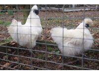 White silkie bantams pair