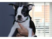 KC Registered Boston Terrier 2 Boys & 2 Girls fully vaccinated