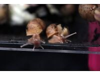 African Giant Land Snails