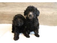 Lovely Cockapoo puppies (2girls&2boys)