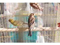 green; mosaic, timbrado Canaries male hens